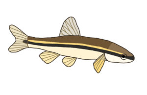 Blacknose Dace (Rhinichthys atratulus) - This dace species is named for the dark lateral band that extends from the base of the tail all the way around its snout. They can tolerate slightly warmer waters than their cousin, the longnose dace, and are often found alongside brook trout populations.